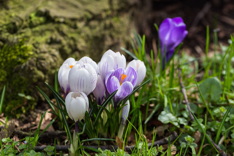 Crocus Collection Beauty In Nature Blooming Close-up Crocus Flower Flower Head Focus On Foreground Fragility Freshness Grass Growth Nature No People Outdoors Petal Plant Purple Purple Flower Spring Spring 2017 Spring Time White Color