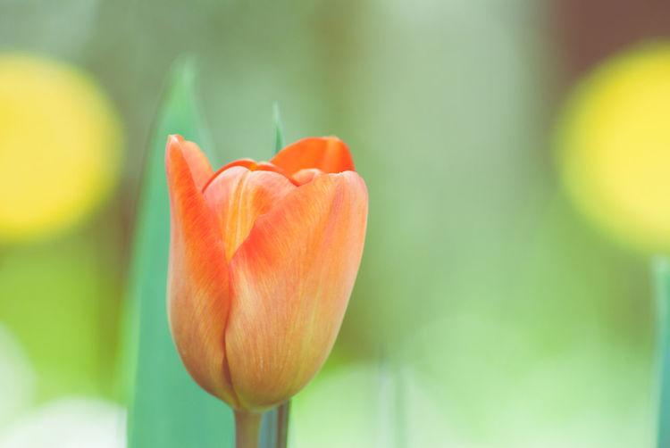Close-up of orange tulip flower in garden