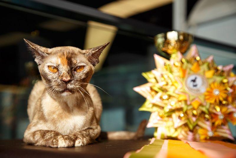 Pet Portraits EyeEm Selects Pets Domestic Cat Animal Domestic Animals Animal Themes Portrait BurmacatLooking At Camera Burmese Cat Chempion