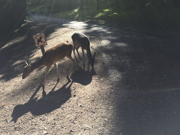 Animals In The Wild Deer Dogs Forest Path Forest Walk Animal Themes Animal Wildlife Animals In The Wild Day Deers Domestic Animals Flare Forest Mammal Nature No People Nodogsallowed Outdoors Pets Shadow Standing Sundbeam Sunlight Togetherness Two Animals