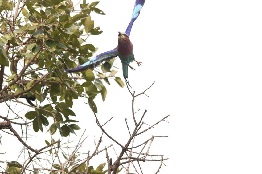 Beautiful African Rainbow Bird Animal Themes Animal Wildlife Animals In The Wild Beauty In Nature Bird Branch Clear Sky Close-up Day Flower Freshness Growth Leaf Low Angle View Nature No People One Animal Outdoors Perching Sky Tree