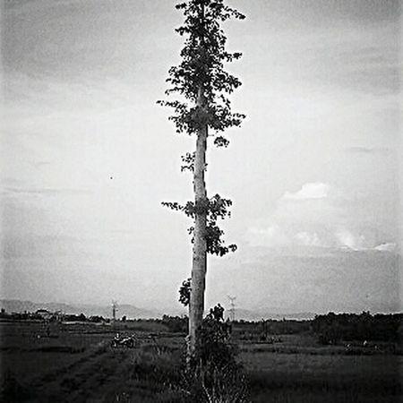 Cotton tree Justgoshoot Not Strange To Me Central Java,indonesia