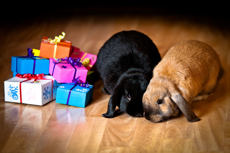 Rabbits with colorful gift boxes on hardwood floor at home