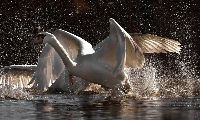 Swans Bird