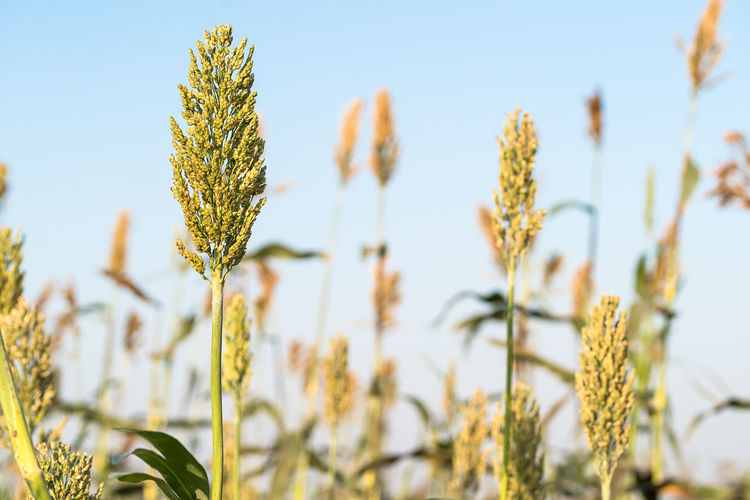 Close up millet or sorghum an important cereal crop in field