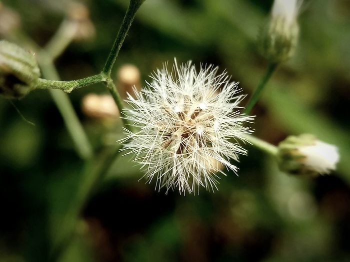 Beauty In Nature Close-up Dandelion Dandelion Seed Day Flower Flower Head Flowering Plant Focus On Foreground Freshness No People Outdoors Plant Selective Focus White Color