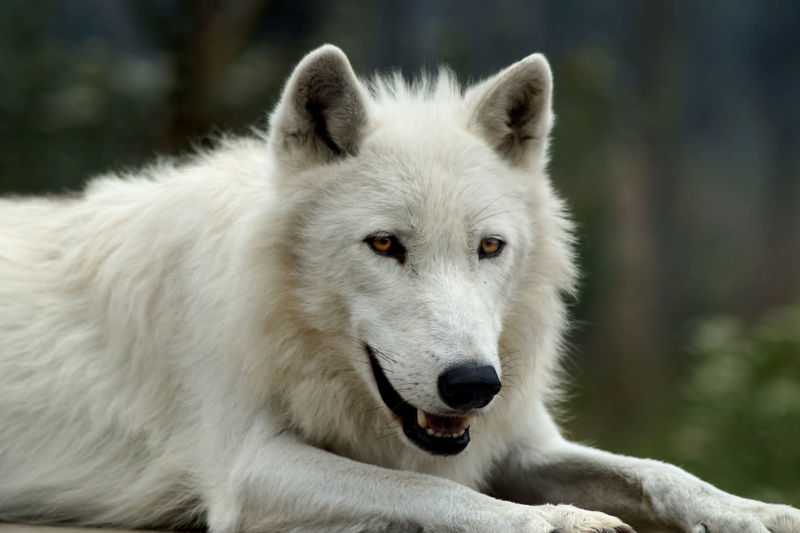 Portrait of arctic wolf sitting at uk wolf conservation trust