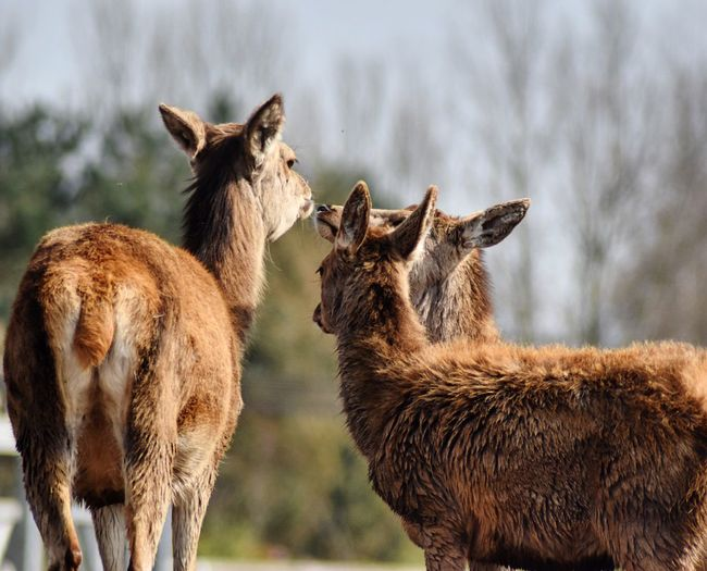 Wildlife & Nature Animal Photography Outdoor Photography Deers Group Togetherness In The Field Three Animals Nature Serene Capture The Moment Close-up Habitat Natural Beauty Alertness Standing Still