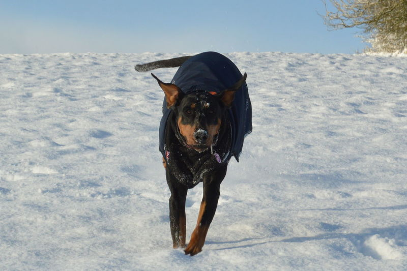 Doberman  EyeEm Selects Dog Pets Snow Domestic Animals Animal Portrait Cold Temperature One Animal Mammal Winter No People Happiness Outdoors Animal Themes