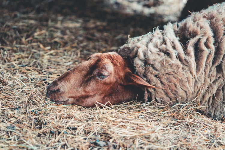High angle view of a sheep on field