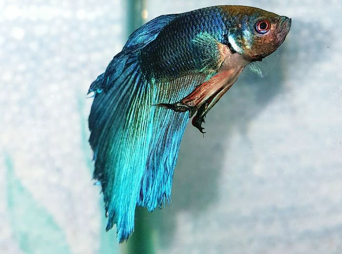 Close-up of siamese fighting fish swimming in aquarium