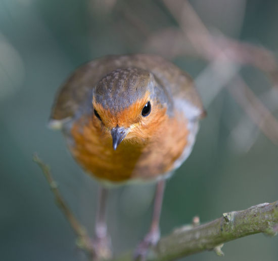 Animal Themes Animal Wildlife Animals In The Wild Bird Close-up Day Focus On Foreground Nature No People One Animal Outdoors Perching Robin