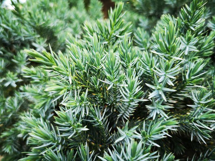 Juniper Nofilter Rawimage Marijuana - Herbal Cannabis Leaf Cannabis Plant Herb Pine Tree Close-up Plant Green Color Pinaceae