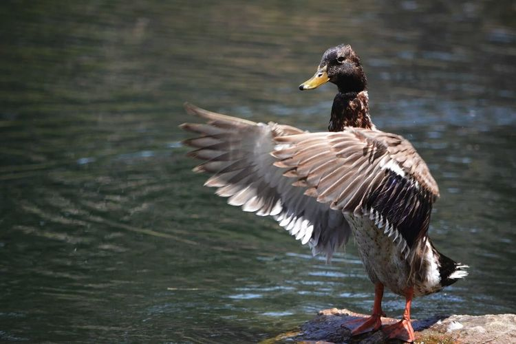 Full length of duck flapping wings by lake
