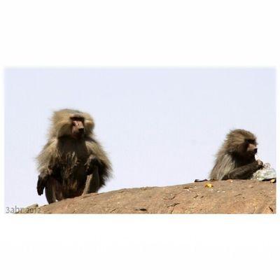 صورة قرود الطائف عقبة كرا monkeys Taif obstacle Kra x3abrr
