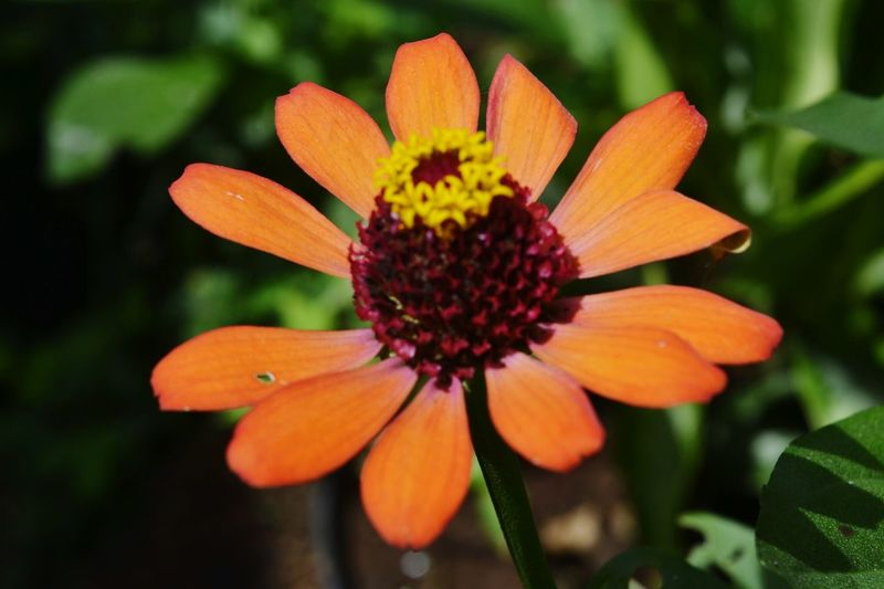 Flowers paradais Flower Nature Petal Orange Color Plant Beauty In Nature Flower Head Fragility Freshness Growth Outdoors Day Close-up Outdoor Pursuit No People Botanical Garden Zinnia