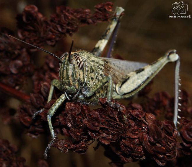 Grasshopper Grasshopper Insect Nature Saltamontes Grasshopper Photography Insect Insectosdeespaña Insect Photography Animal Wildlife Nikon D60 Catalunya Nikonespaña Nature Photograhy Beauty In Nature Naturephotography Nature Photography Nikonphotographer Animals In The Wild Nikonphotograhy Forest Animal Photography Animal Photography Photooftheday Outdoor Photography Naturelovers Natgeo Safari Forest Adventure Hiking Nature_collection Landscape_collection EyeEmNatureLover Naturaleza🌾🌿 Martorell Insects Of The World