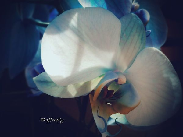 Flower by ©Raffreefly Flowers Raffreefly Art AlbumBiella Nature Photography Eyeemmarket Eyeemnature eyeemphoto Light And Shadow EyeEm Gallery EyeEmdigital Freestyle FreeArtist Design ARTECONTEMPORANEA Artemoderna Artedigitale Happiness Flower Head Flower Petal Close-up In Bloom Orchid Pistil Blooming Botany