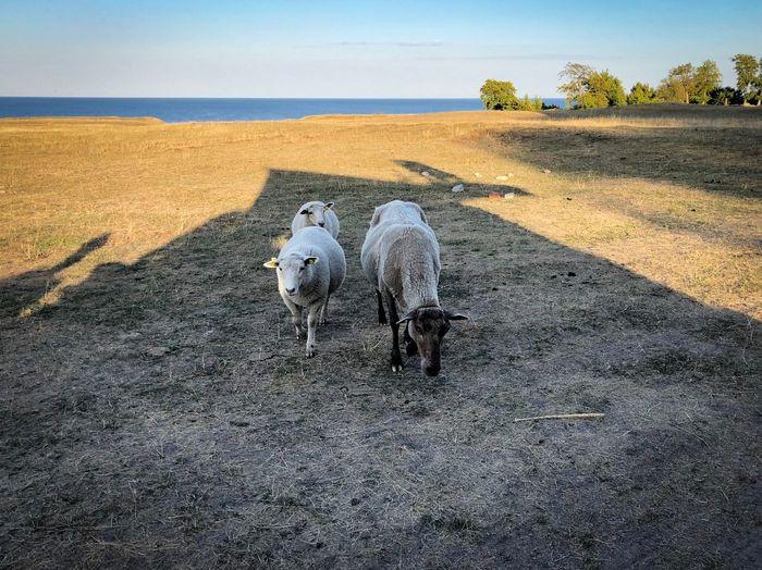Sheep greeting