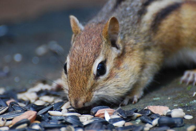 Chipmunk eating seeds close-up