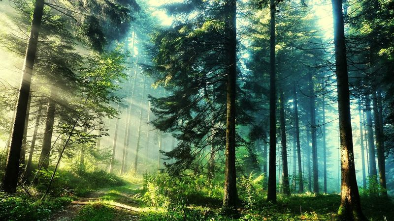 Forest Tree Tranquility Tranquil Scene Scenics Beauty In Nature Non-urban Scene Tree Trunk Growth WoodLand Nature Landscape Green Color Branch Day Tall - High Sunbeam Outdoors Fog Tree Area