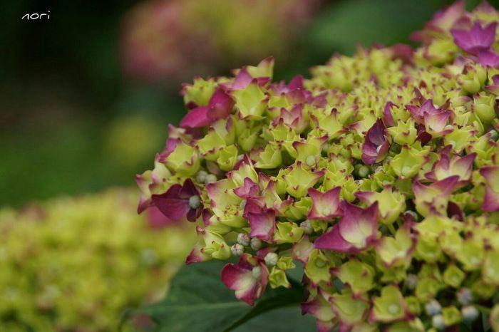さて、もう少し頑張ってきます(^-^ゞ あじさい 紫陽花2015Photo Hydrangea ボケ味ふぇち Flower Collection Flower Flowers Beautiful Flower EyeEm Flower Kagoshima