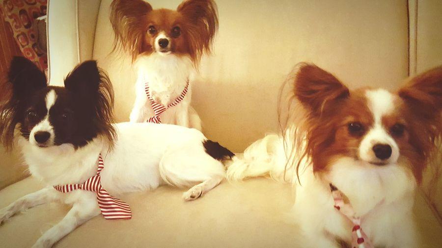 Papillion, Dog, Cute, Precious, Furry Ilovemydog Dogslife Pet Portraits Connected By Travel