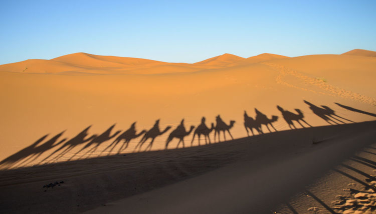 Morocco Travel Arid Climate Camels Clear Sky Day Desert Domestic Animals Dromedary Extreme Terrain Landscape Large Group Of Animals Nature Outdoors Sand Sand Dune Scenics Shadow Silhouette Sunlight Tourism Travel Destinations