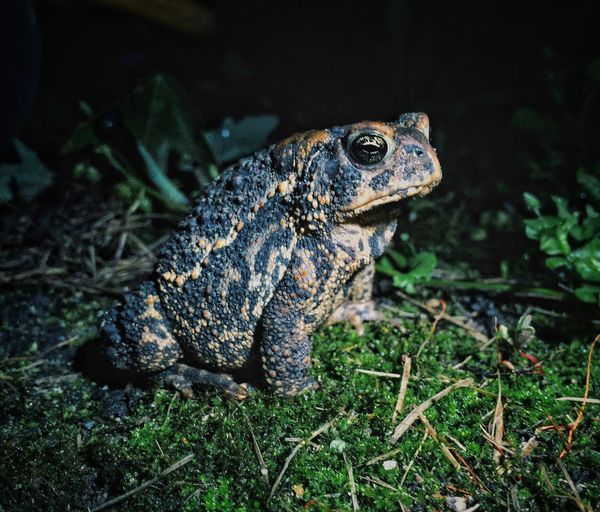 Amphibian Animal Head  Animal Themes Backyard Close-up Focus On Foreground Frog Nature No People Selective Focus Toad Wildlife