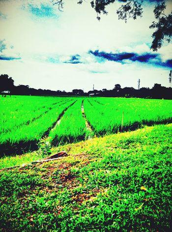 Farm Life Grassyfield Sawahpadi Farmland Indonesiagram This Is Indonesia
