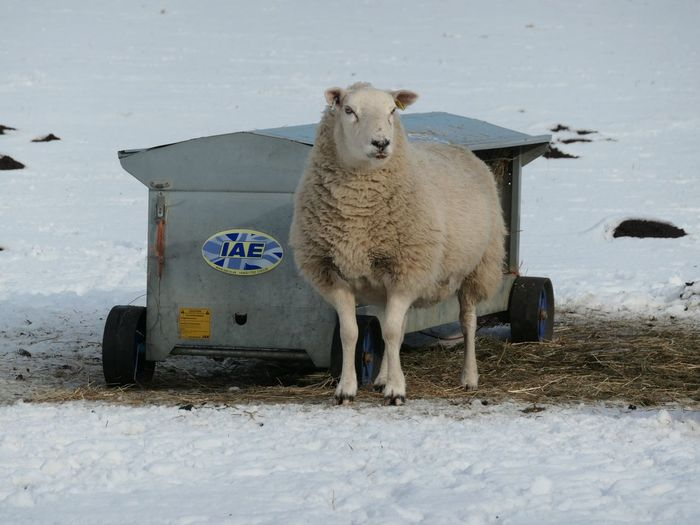 Alone EyeEm Selects Snow Winter Animal Themes Animal Mammal Cold Temperature Nature Vertebrate No People Day Field Livestock Domestic Animals Land Pets One Animal Domestic Sheep White Color Outdoors