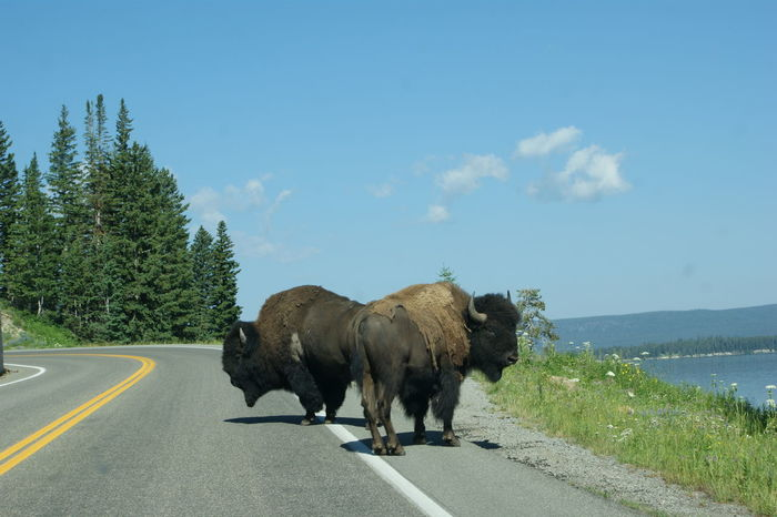 Road Block Bison Yellowstone National Park Animal Themes Beauty In Nature Cloud - Sky Day Domestic Animals Highway Mammal Nature No People One Animal Outdoors Road Sky Tree
