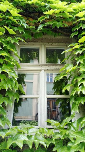 Green Color Window Reflection Vines On Wall Leaf Architecture Building Exterior Plant Growing Overgrown Creeper Lush Foliage