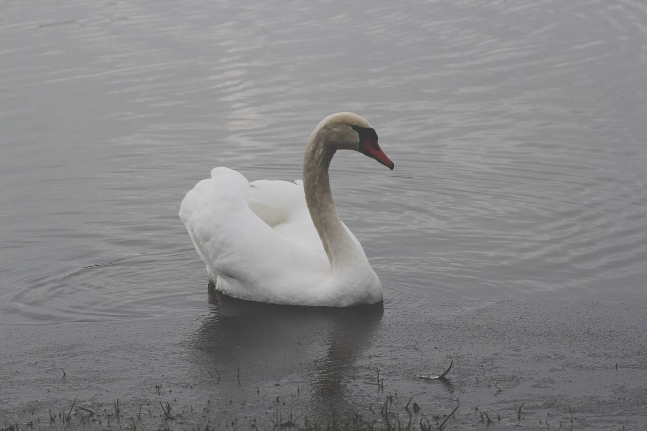 animals in the wild, one animal, animal themes, lake, swan, water, animal wildlife, bird, swimming, nature, water bird, no people, reflection, waterfront, day, outdoors, beauty in nature