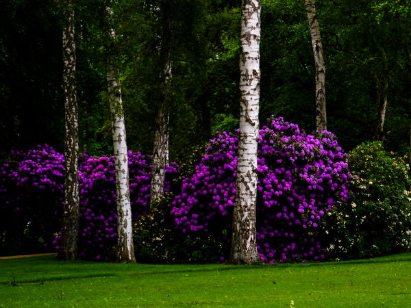 Landesgartenschau Eutin Beauty In Nature Birch Trees Birken Eye4photography  EyeEm Best Shots EyeEm Gallery EyeEm Germany EyeEm Nature Lover GERMANY🇩🇪DEUTSCHERLAND@ Nature On Your Doorstep Nature's Diversities Naturelovers Park Park - Man Made Space Pink Color Purple Rhododendron Scenics Tranquil Scene Tranquility Tree
