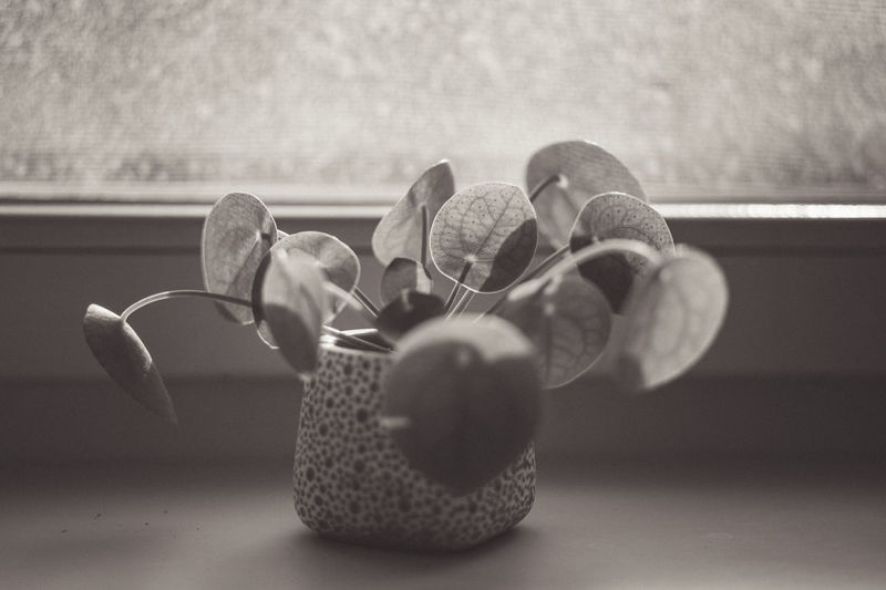 Pilea Peperomioides Succulents Black And White Chinese Money Plant Close-up Evergreen Focus On Foreground Fragility Indoors  Leaf Leaf Vein Leaves Lefse Plant Missionary Plant Pancake Plant Perennial Plants Succulent Plant Window Sill