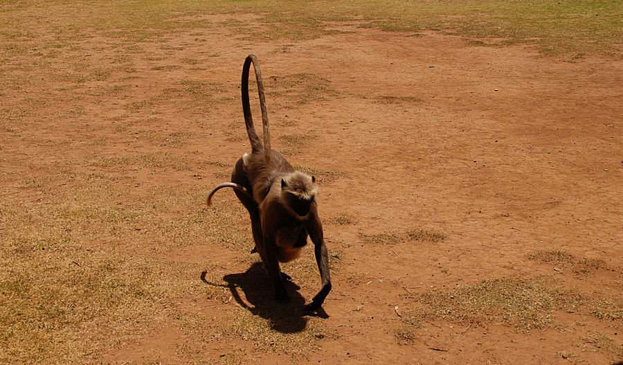 High angle view of langur on field