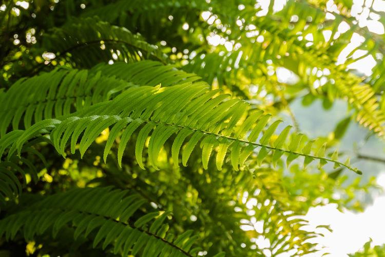 Fern Leaf Wood