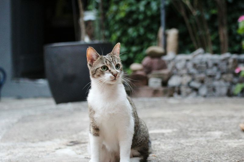 Domestic Cat Pets One Animal Animal Domestic Animals Feline Animal Themes Portrait Cute Looking At Camera Alertness Mammal Sitting Outdoors No People Day Kitten Collar Cat Cat♡ Cat Lovers