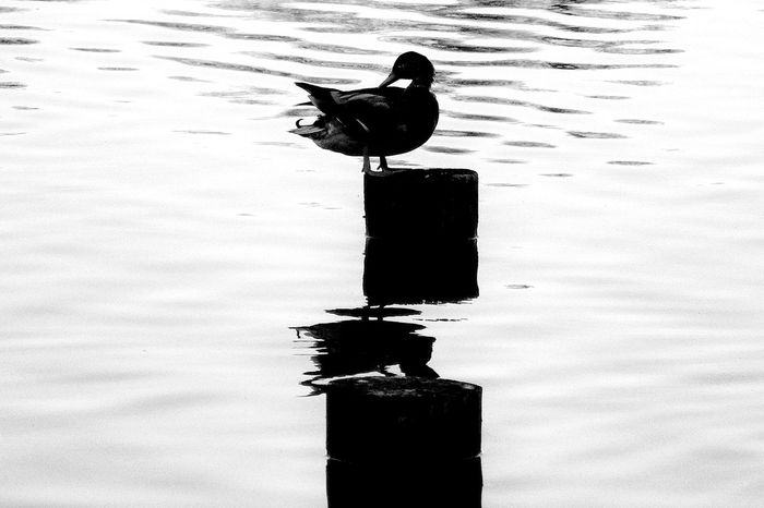 A duck and a lake Animal Animal Themes Animals Bird Black & White Black And White Black Color Day Duck Lake Mallard Nature No People Outdoors Rippled Silhouette Tranquility Water Wildlife