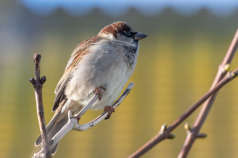 Portrait of a house sparrow perching on a branch.