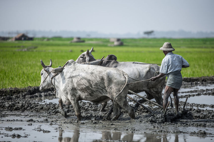 Beautiful Myanmar Authenticity Bull Burma Burmese Farm Farmer Farming Man Mandalay Mud Mud Ox Myanmar Paddy Ploughing Plow Plowing Poor  Poverty Rice Field Two Animals Feel The Journey