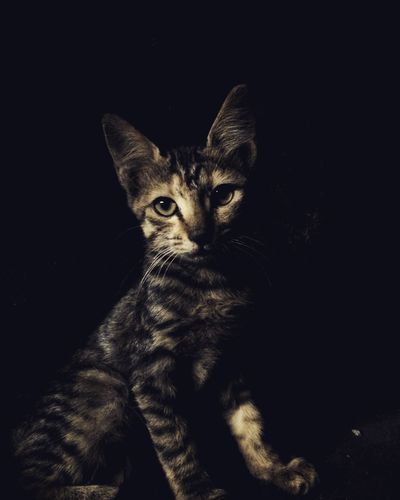 """""""I've come to Steal Hearts ..... and Tuna """" Kitten 🐱 Lion Love Animal Themes Black Background Close-up Color Colour Day Domestic Animals Domestic Cat Feline Indoors  Kitten Kittenlove Looking At Camera Mammal Mix Mixcolor Mixcolour No People One Animal Pets Portrait Studio Shot"""