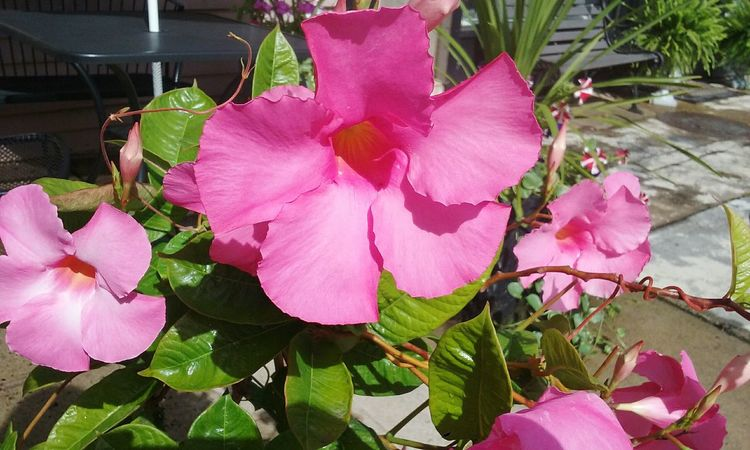 Flower Pink Color Petal Beauty In Nature Nature No People Leaf Plant Fragility Growth Day Outdoors Flower Head Freshness Flowers Close-up Nj Trishann Artlovelaughter