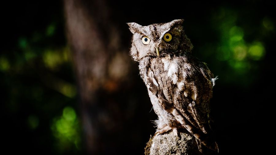 Portrait of owl perching on tree at night