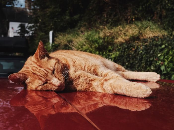 Close-up of cat sleeping on vehicle hood