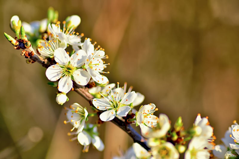 Flowering Plant Flower Fragility Growth Vulnerability  Freshness Beauty In Nature Flower Head Focus On Foreground Inflorescence Selective Focus Nature No People Pollen Blossom Botany Springtime Pollination Cherry Blossom Plant Close-up Petal Day Outdoors