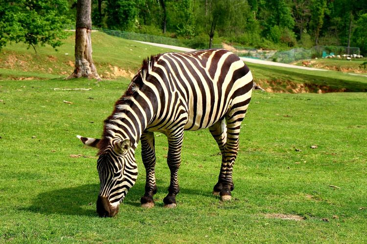 Tree Zebra Full