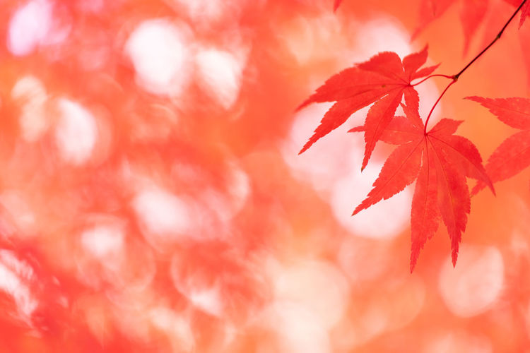 Red Leaf Plant Part Autumn Beauty In Nature Close-up Plant Backgrounds Maple Leaf Orange Color No People Selective Focus Nature Tree Change Branch Maple Tree Outdoors Copy Space Focus On Foreground Leaves Soft Focus Orange