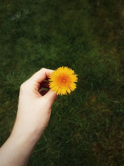 Cropped hand holding yellow flowering plant on field